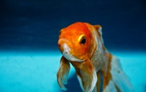 photo of goldfish looking at you